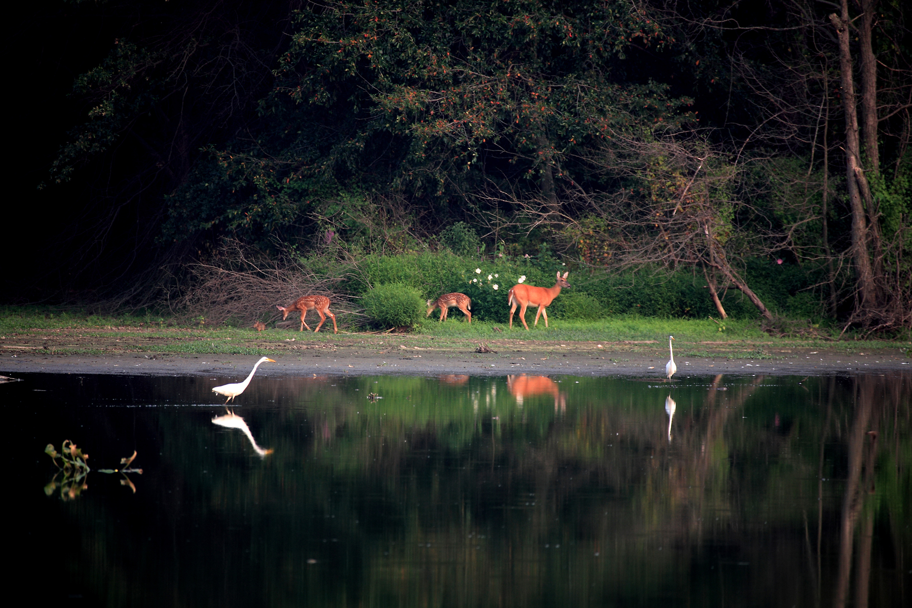 egrets and deer